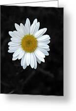 Oxeyed Daisy Greeting Card