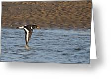 Oystercatcher 3 Greeting Card
