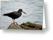 Oystercatcher Greeting Card