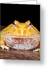 Pac Man Frog Ceratophrys On A Rock Greeting Card