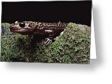 Pacific Giant Salamander On Mossy Rock Greeting Card