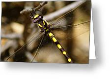 Pacific Spiketail Dragonfly On Mt Tamalpais 2 Greeting Card