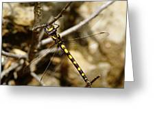 Pacific Spiketail Dragonfly On Mt Tamalpais Greeting Card