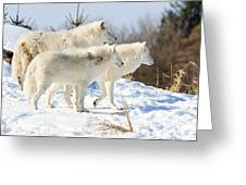 Pack Of Arctic Wolves Greeting Card