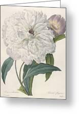 Paeonia Flagrans Peony Greeting Card