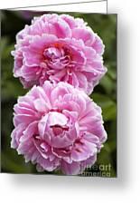 Paeonia Lactiflora 'sarah Bernhardt' Greeting Card