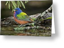 Painted Bunting Drinking Greeting Card