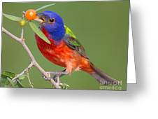 Painted Bunting Eating Granjeno Berry Greeting Card