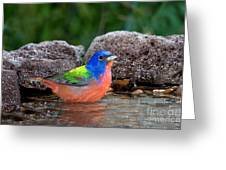 Painted Bunting Passerina Ciris In Water Greeting Card