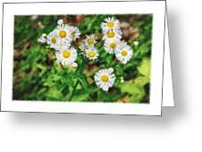 Painted Fleabane Greeting Card