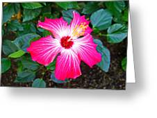 'painted Lady' Hibiscus Greeting Card