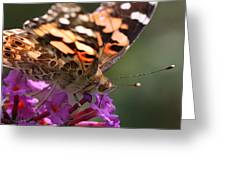 Painted Lady On Butterfly Bush Greeting Card by William Selander