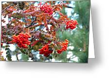 Painted Mountain Ash Berries Greeting Card
