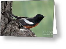 Painted Redstart Myioborus Pictus Greeting Card