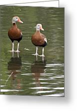 Pair Black-bellied Whistling-ducks Greeting Card