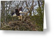 Pair Of Bald Eagles At Their Nest Greeting Card