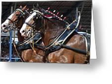 Pair Of Budweiser Clydesdale Horses In Harness Usa Rodeo Greeting Card