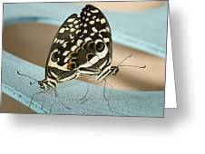 Pair Of Citrus Swallowtail Butterflies  Greeting Card