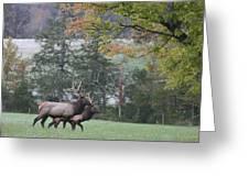 Pair Of Elk Bulls Greeting Card