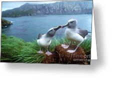 Pair Of Grey-headed Albatross Greeting Card