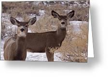 Pair Of Mule Deer   #7584 Greeting Card