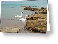 Pair Of Swans. Greeting Card