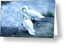 Pair Of Swans Greeting Card