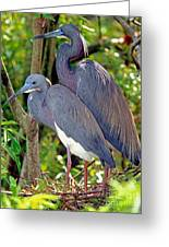Pair Of Tricolored Heron At Nest Greeting Card