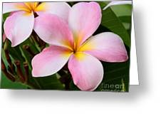 Palacious Pink Plumeria Greeting Card