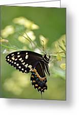 Palamedes Swallowtail Greeting Card