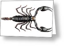 Palamnaeus Fulvipes Greeting Card