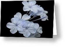 Pale Blue Plumbago Isolated On Black Background  Greeting Card
