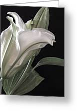 Pale Lily Greeting Card