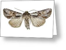 Pale-shouldered Cloud Moth Greeting Card