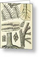 Paleozoic Flora, Calamites, Illustration Greeting Card