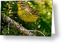 Palm Warbler Pictures 38 Greeting Card