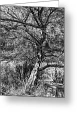 Palo Verde In Black And White Greeting Card