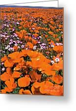 Panorama Califonria Poppies And Hollyleaf Gilia Wildflowers Greeting Card