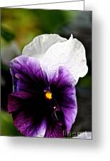 Pansy Breezes Greeting Card
