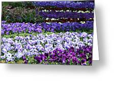 Pansy Field Greeting Card
