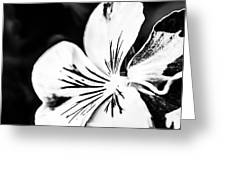 Pansy Flower Black And White 02 Greeting Card