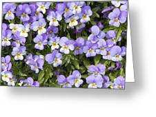 Pansy Flowers In Spring Background Greeting Card