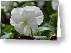 Pansy Purity Greeting Card