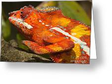 panther chameleon from Madagascar 3 Greeting Card