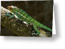 panther chameleon from Madagascar 5 Greeting Card