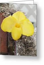 Paphiopedilum Fumis Gold Greeting Card