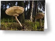 Parasol Mushrooms Pair In Forest Spain Greeting Card