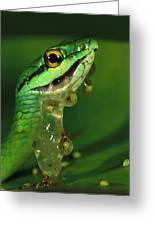Parrot Snake Eating Frog Eggs Greeting Card