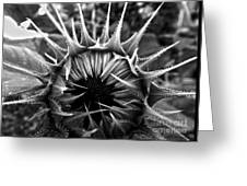 Partial Eclipse Of The Sunflower - Bw Greeting Card
