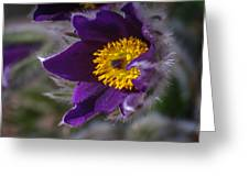 Pasque Flower Greeting Card